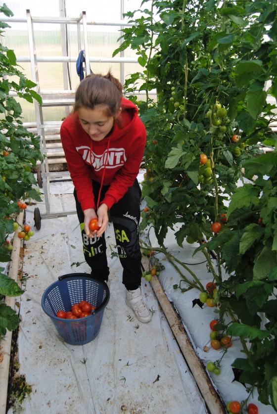 Fínsko - zber rajčín