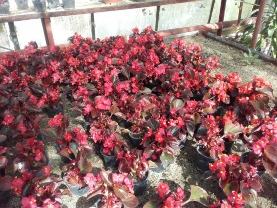 červená begonia pre nízke záhony hroby