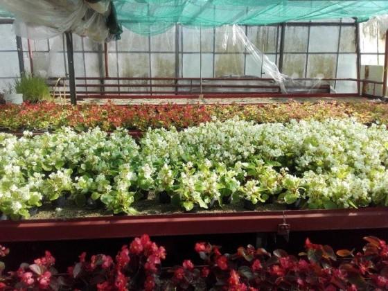 Begonia biela pre nízke výsadby a záhony