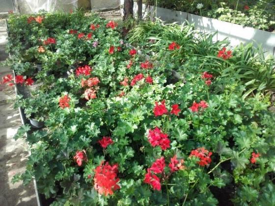Pelargonium - previslý červený muškát pre balkony previslé výsadby