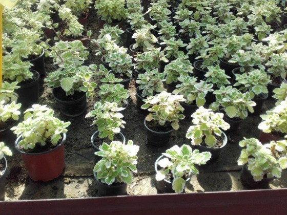 Plectranthus- pre balkony previslé a závesné úpravy
