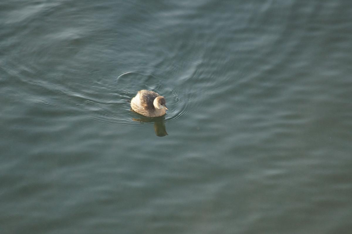 Potápka hnedá
