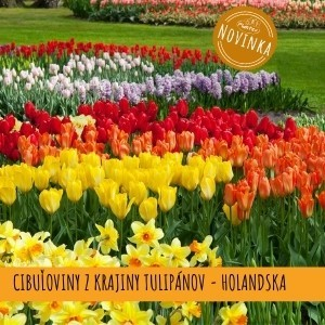 Plantex tulipany